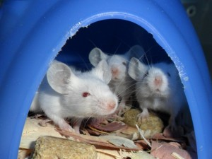 white-mice