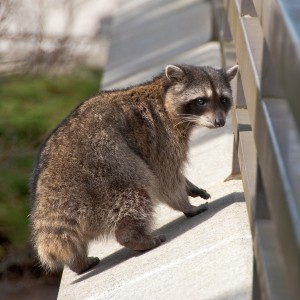 bigstock-Tailless-raccoon-looking-back--26747381