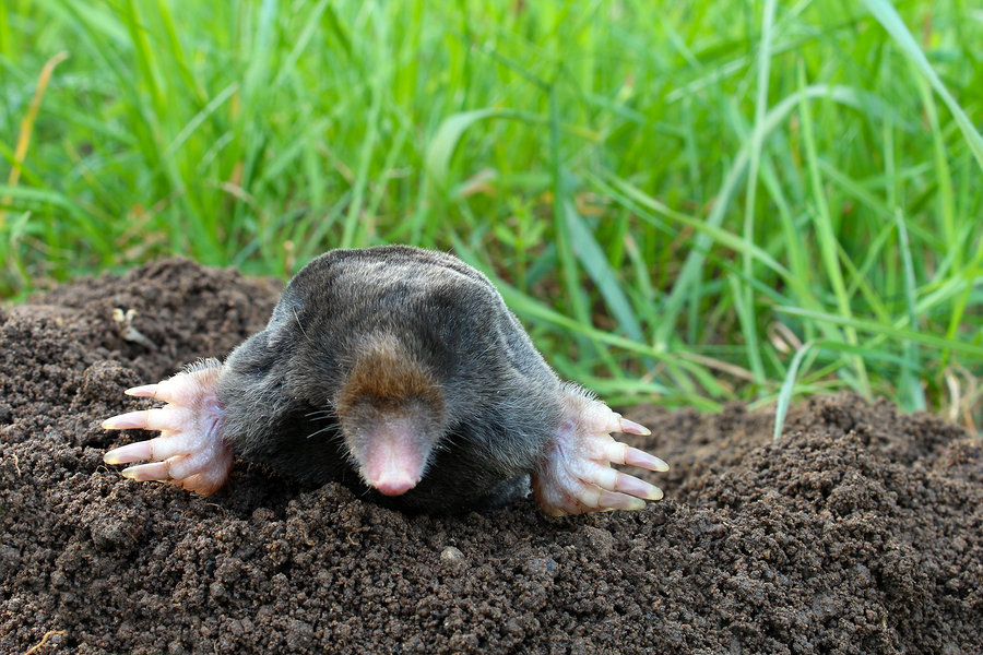 moles a danger to your garden humane removal of