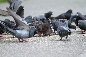 Hungry Pigeons On Park Alley
