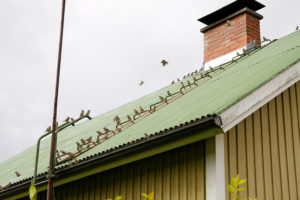Flock of sparrows at roof of house