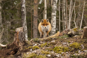 red fox in the woods