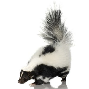 bigstock-Striped-Skunk--Mephitis-Mephi-2323089