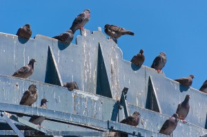 bigstock-Pigeon-s-Crap-44114515(1)