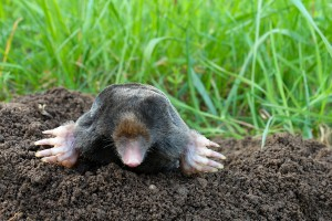 Mole And Molehill On Garden