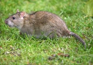 Common brown Rat.